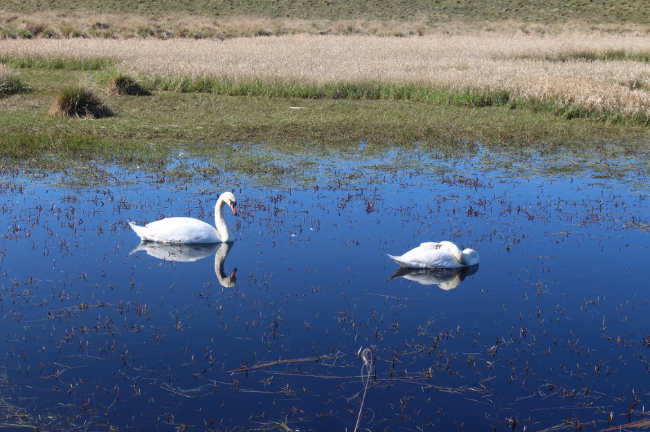 two swans swim in a pool of water