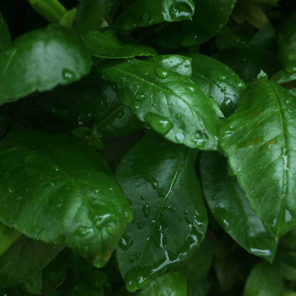 The image shows rain drops collecting on green leaves