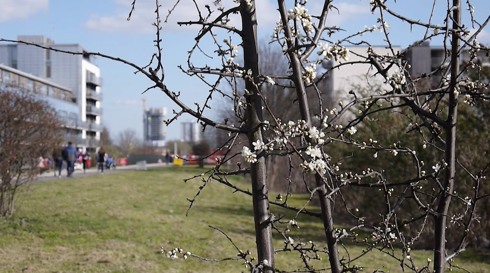 A shot of the Greenway in Hackney – in the foreground is a sapling with white blossom and thorns on its branches. In the background out of focus is an area of grass and a number of people in winter coats are walking along a paved path. It is a bright sunny day.